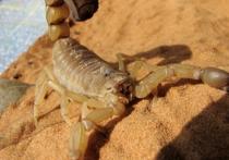 Найденный в подмосковной квартире скорпион опасен, но не смертелен